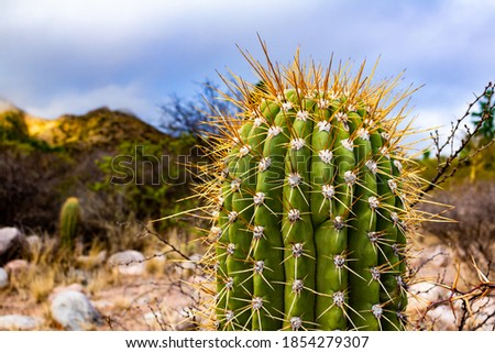 Huge tip of a cactus full of thorns. Desert plant with thorns. Selective focus.