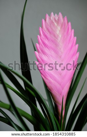Tillandsia cyanea anita macro photography isolated. Tropical pink plant close up. Royalty-Free Stock Photo #1854310885