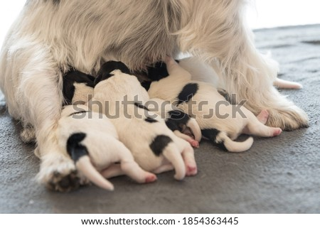 A litter of little dog breed. Newborn dogs puppies - 2 days old - Jack Russell Terrier doggies  drinking milk on her mother Royalty-Free Stock Photo #1854363445