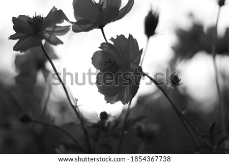 The beautiful flower cosmos yellow in the garden ,Black and white photos decorated in Photoshop.