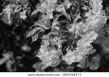 Black and white photos decorated in Photoshop Urai yellow flower in the garden.