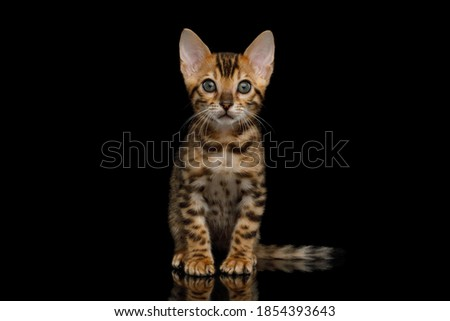 Bengal Kitten sitting on isolated Black Background and looking at camera Royalty-Free Stock Photo #1854393643