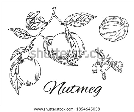 Ink Nutmeg hand drawn set. Minimalistic vintage sketch of branch, nuts and buds. Simple Nutmeg line art. Retro culinary sketch of spice. Vector Illustration isolated on white background Royalty-Free Stock Photo #1854645058