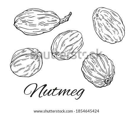 Ink Nutmeg hand drawn set. Minimalistic vintage sketch of nuts. Simple Nutmeg line art. Retro culinary sketch of seasoning. Vector Illustration isolated on white background Royalty-Free Stock Photo #1854645424