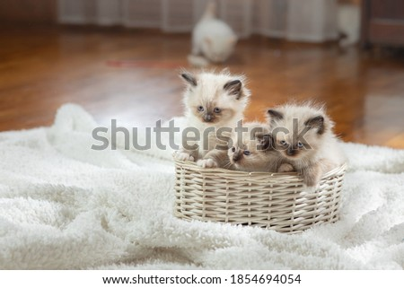fluffy three kittens on white in a plaid. Bicolor Rag Doll Cat with blue ball Royalty-Free Stock Photo #1854694054