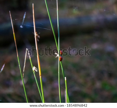 Two red and black ladybugs on a grass stalk in a kissing position, with a blurred fall background.
