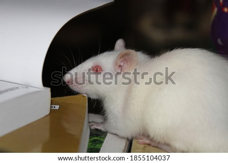 Picture of young white rat