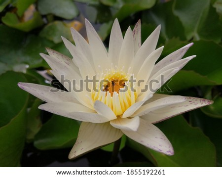 Multicolored white lotus flower with bee in top view picture Bee collecting pollen on white lotus The bees feed on nectar zesty in the purple lilies of a calm morning.