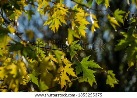 Maple Acer saccharinum with golden and green leaves against sun. Bright foliage on Acer saccharinum in sunny autumn day. Nature concept for any design. Soft selective focus.  #1855255375