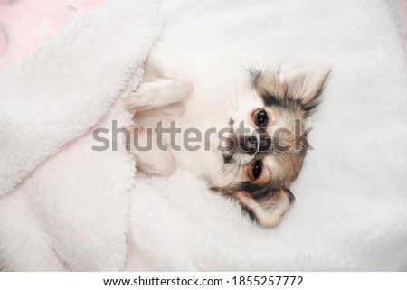Cute chihuahua puppy sleeping in bed. Light picture with very sweet little dog, pure breed