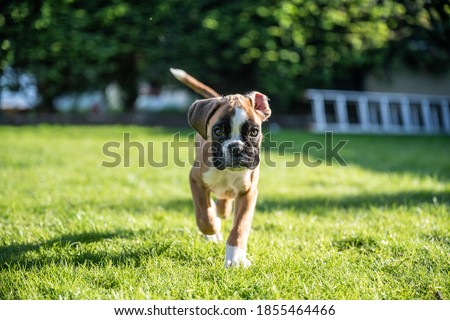 8 weeks young purebred golden puppy german boxer dog Royalty-Free Stock Photo #1855464466