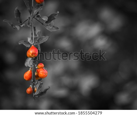 Close up of beautiful small vivid orange red pomegranate flowers,Monochrome photo with black and white background