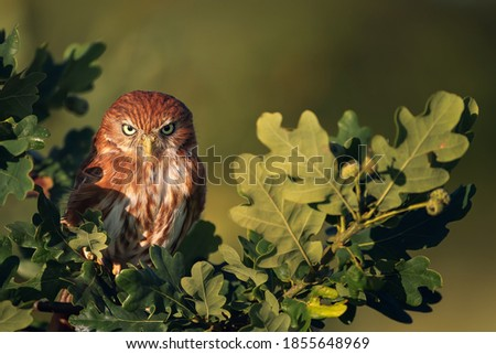 The ferruginous pygmy owl (Glaucidium brasilianum) is a small owl that breeds in south-central Arizona and southern Texas in the United States, south through Mexico, Central America, to South America. Royalty-Free Stock Photo #1855648969