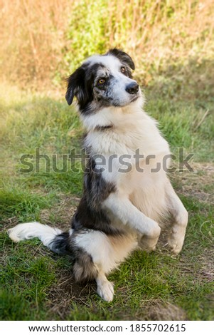 Dog standing up, with his legs up,  purebred dog doing tricks, Border Collie with brown eyes