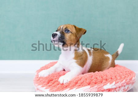 A cute Jack Russell Terrier puppy lies on a pink knitted plush donut on a green background. Pet care concept, love for animals. Pedigree dogs, breeding. Day of dogs, day of pets. Dog bed. Royalty-Free Stock Photo #1855939879