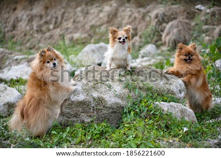 young pomeranian and chihuahua, picture in the nature, in autumn