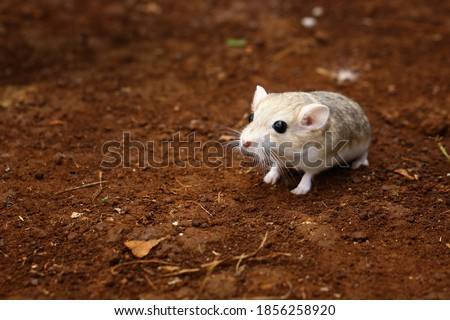 Fat tailed gerbil, cute animal