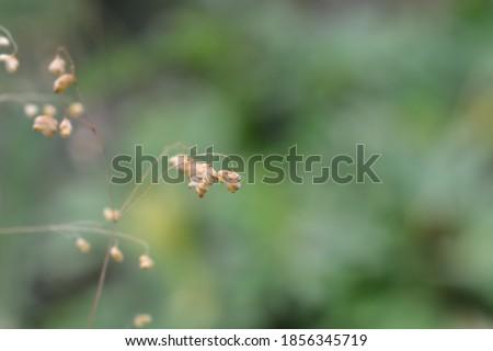 Common quaking grass - Latin name - Briza media Royalty-Free Stock Photo #1856345719