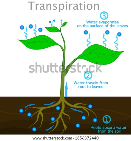 Transpiration stages in plants. Roots absorb water from the soil,  travels from root to up leaves, evaporates on the surface of the leaves. drops cycle, vapors.  Biology illustration vector #1856372440