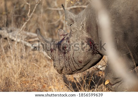 Bloody and beaten Black Rhino seen on a safari in South Africa Royalty-Free Stock Photo #1856599639