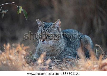 Male African Wildcat seen on a safari in South Africa Royalty-Free Stock Photo #1856601121