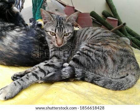 beautiful cat posing for camera background
