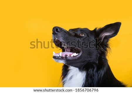 Close up portrait of a adorable purebred Border Collie smiling  looking up camera isolated over yellow wall background. Funny black and white dog showing tongue. Royalty-Free Stock Photo #1856706796