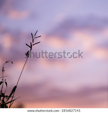 silhouette of grass flower with purple sky background
