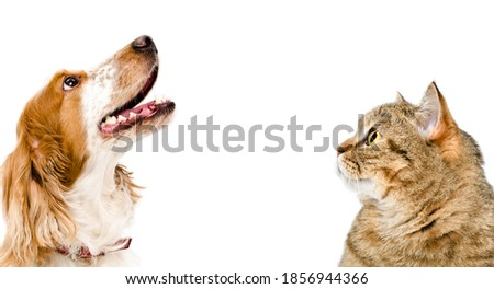 Portrait of a cat Scottish Straight and dog Russian spaniel looking up, closeup, isolated on white background Royalty-Free Stock Photo #1856944366