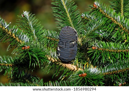 Fir tree known as Abies balsamea or balsam ,Firs are species of evergreen coniferous trees in the family Pinaceae.                                    Royalty-Free Stock Photo #1856980294