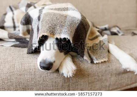 Funny portrait puppy dog border collie lying on couch under plaid indoors. Dog nose sticks out from under plaid close up. Pet keeps warm under blanket in cold winter weather. Pet care animal life Royalty-Free Stock Photo #1857157273
