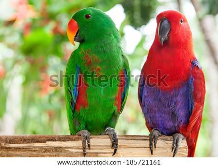 a pair of Solomon Island Eclectus Parrots ( Eclectus roratus solomonensis) #185721161