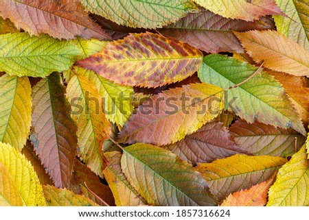 Close-up of cherry leaves with pretty fall colors. Cerasus.