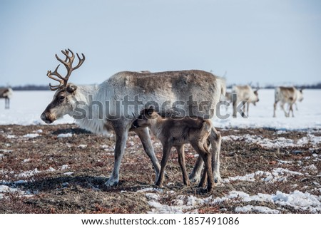 reindeer in the spring, female reindeer with offspring Royalty-Free Stock Photo #1857491086
