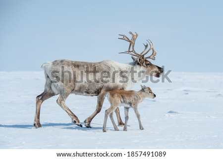 reindeer in the spring, female reindeer with offspring Royalty-Free Stock Photo #1857491089