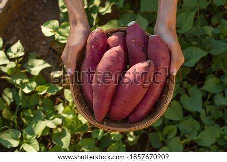 Farmer hold Fresh sweet potato product in wood basket with green leaf of sweet potato plant on background Royalty-Free Stock Photo #1857670909