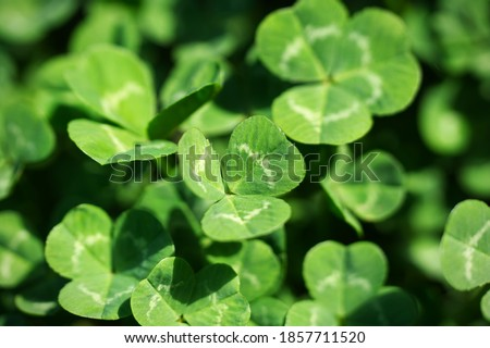 Clovers close-up with clovers in the background