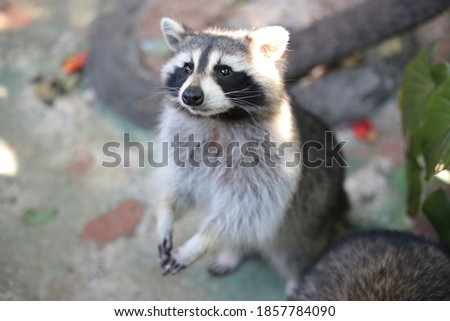 Cute Standing Little Raccoon Picture