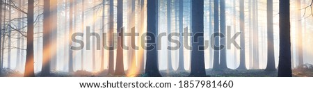 Panoramic view of the majestic evergreen forest in a morning fog. Ancient pine tree silhouettes close-up. Atmospheric dreamlike summer landscape. Sun rays. Nature, ecology, fantasy, fairytale Royalty-Free Stock Photo #1857981460