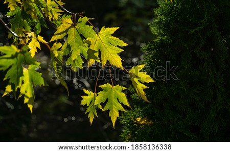 Maple Acer saccharinum with  green leaves against sun. Close-up bright foliage on Acer saccharinum on dark greenery background. Nature concept for any design. Selective focus. Place for your text #1858136338