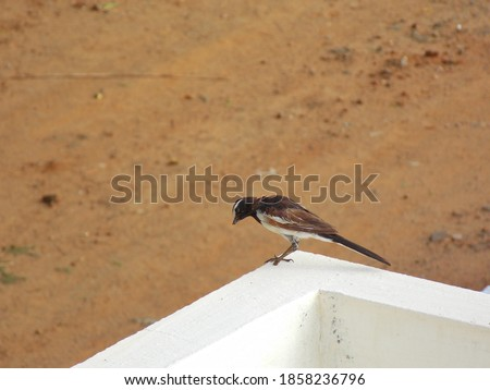 Picture of a black sparrow