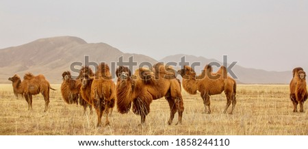 The Bactrian camel, also known as the Mongolian camel, is a large even-toed ungulate native to the steppes of Central Asia. It has two humps on its back, in contrast to the single Royalty-Free Stock Photo #1858244110