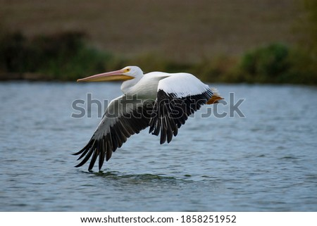 American White Pelican, Birds, Nature Royalty-Free Stock Photo #1858251952