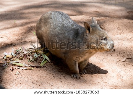 the hairy nosed wombat has sharp claws for digging is brown in color and walks on four legs like a dog