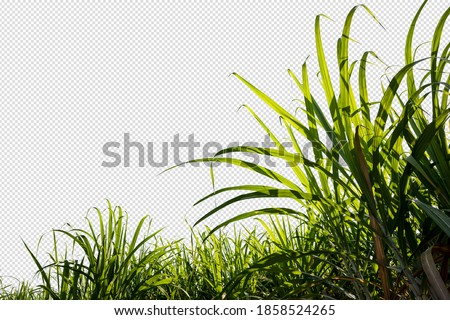sugar cane farm, green sugar plant in blue sky day with clipping path inside picture