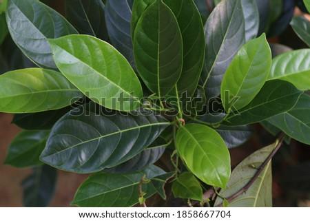 jackfood leaf high resolution stock photos