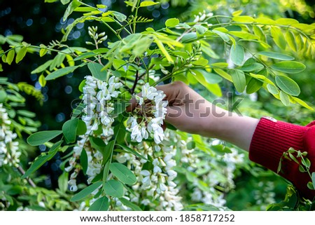 Hand tearing white flowers tree acacia. Blooming clusters of acacia. Honey spring plant. Branches of black locust, Robinia pseudoacacia, false acacia. Closeup, macro. Soft focus #1858717252