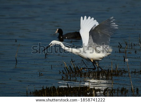 an egret hunting for its prey with its wings out ready to take the dive for that fish Royalty-Free Stock Photo #1858741222