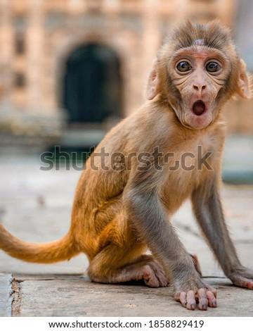 Beautiful monkey picture in jodhpur-india
