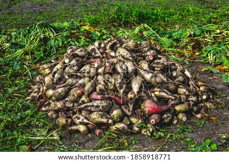 Harvesting fodder beets for animal feeding. Fodder beet crop. Crop of fodder beet collected by people in a pile Royalty-Free Stock Photo #1858918771